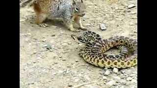 Белка vs змея