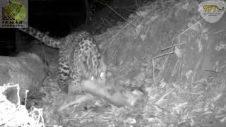 Перепись редких кошек началась на «Земле леопарда» \ Photomonitoring for wild cats