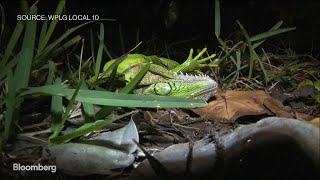 Iguanas Are Falling From Trees in Florida