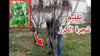 تقليم شجرة الكرز . Pruning the Mature Cherry Tree