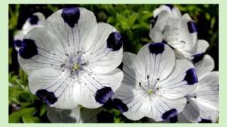 видео Немофила: выращивание из семян, когда сажать?