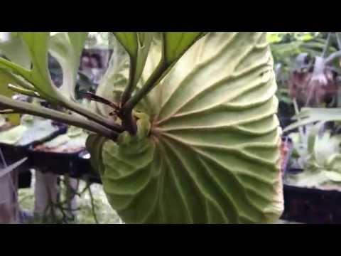 Platycerium Ridleyi - 鹿角蕨