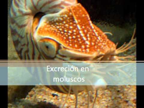 excreción de invertebrados - YouTube