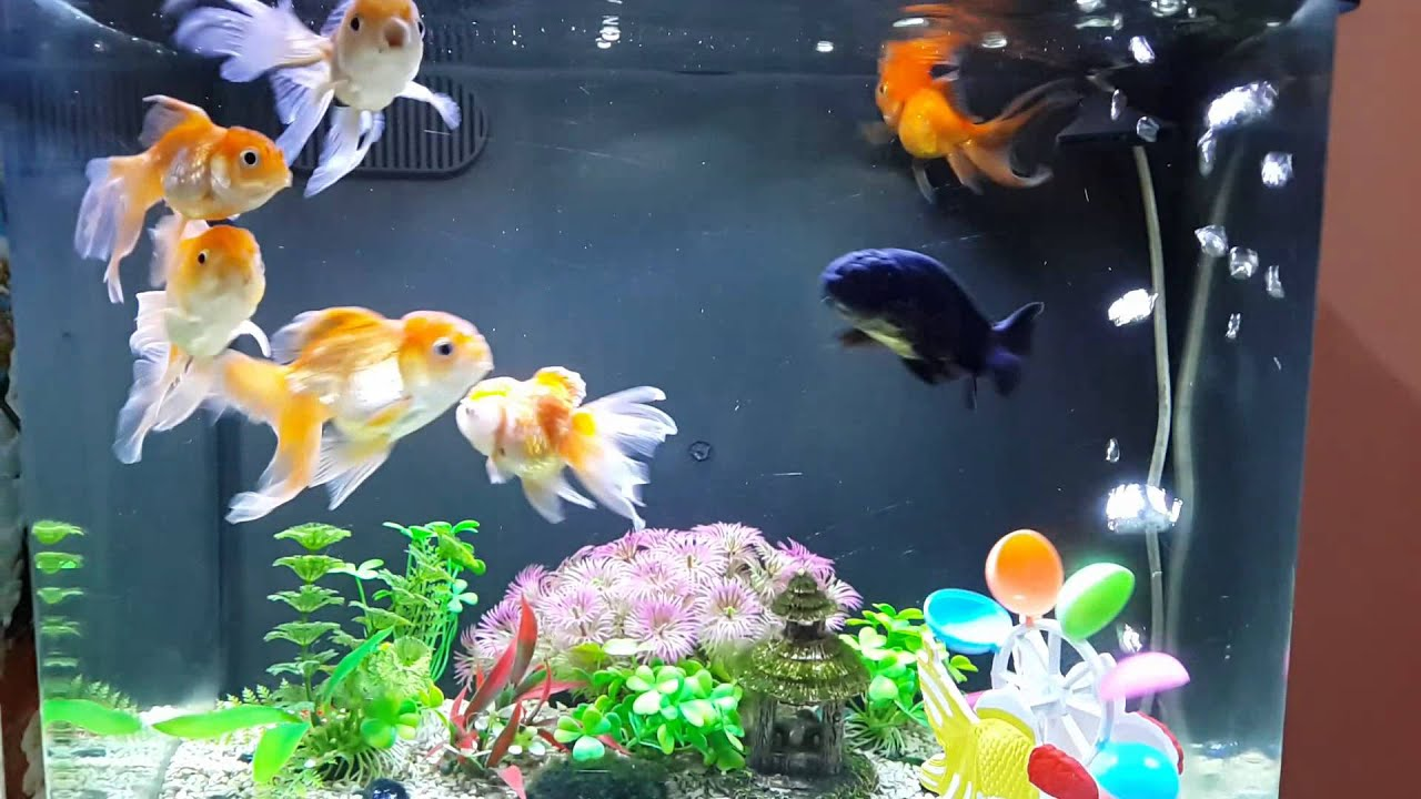Fish in tank with goldfish - Goldfish Tank Design Cool Must See