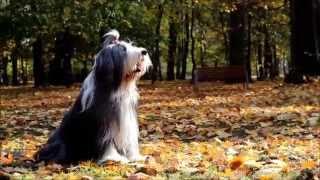Amazing bearded collie Beza and tricks