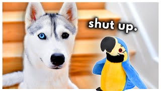 Husky Meets a TALKING Parrot! (Can they be friends?)