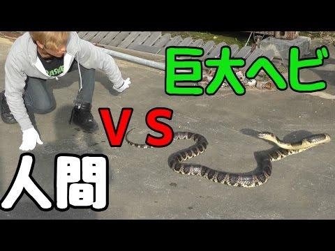 小屋に巨大ヘビが現れたので捕獲して食べてみた。