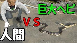 小屋に巨大ヘビが現れたので捕獲して食べてみた。 thumbnail