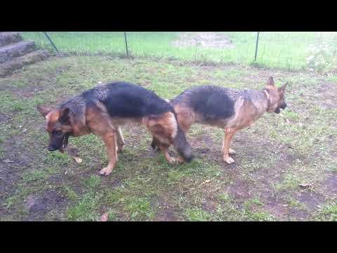 Download Saillie Berger Allemand, Les deux chiens se retrouvent alors comme « collés » par l'arrière.