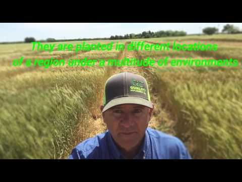 Texas Agrilife 2017 wheat variety test plots