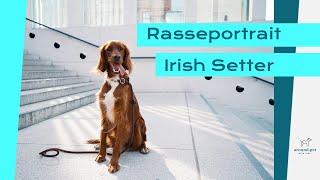 Rasseportrait  Irish Setter