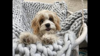 Charlie the Cavapoo - 4 Weeks Residential Dog Training
