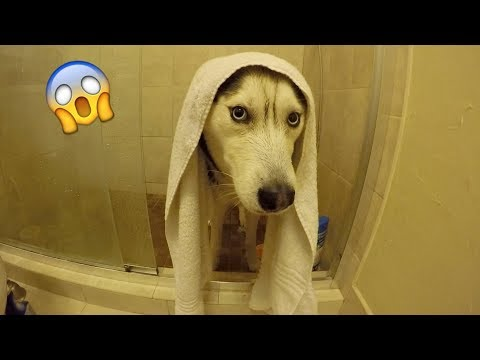 My Husky Doesn't Want a Bath!