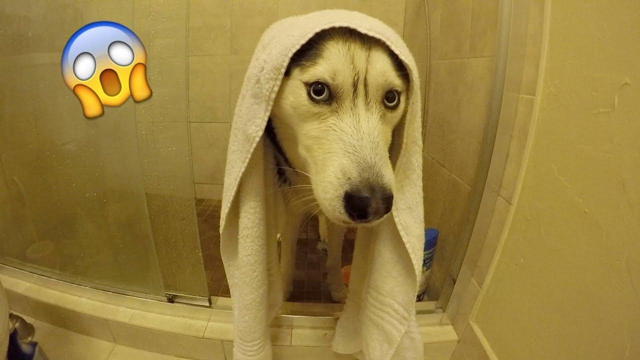 My Husky Doesn't Want a Bath!