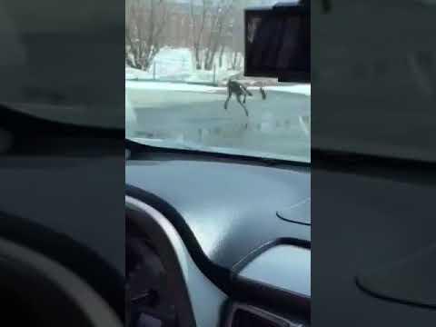Неизвестный грызун в Муравленко напал на собаку и покушался на автомобиль