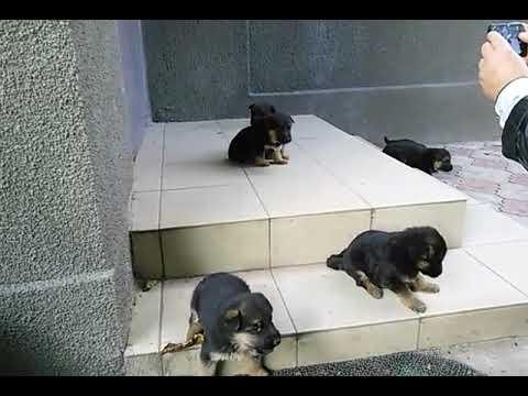 продаются щенки немецкой овчарки.СПб - YouTube