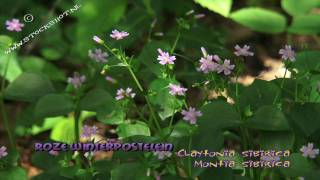 pink purslane - roze winterpostelein - Claytonia sibirica