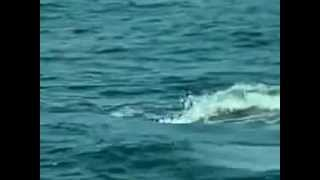 Killer Whale(Orca whale) attack on great white shark