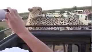 Экстремальное сафари  Дикая кошка на джипе