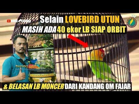 Cerita LOVEBIRD UTUN & 40 LOVEBIRD siap orbit milik om fajar Kuningan SF