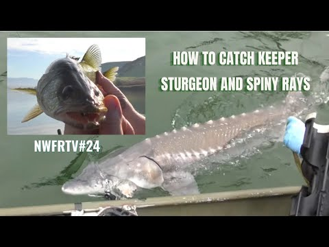 NWFRTV#24 | Lake Roosevelt Keeper Sturgeon & Scootney Reservoir Walleye Tactics