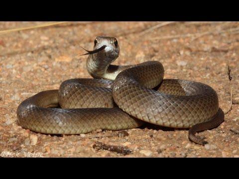 Reptiles del desierto Australiano - Serpientes y Reptiles HD