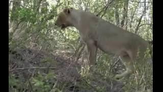 Samotna Lwica -świat zwierząt Afryki ,, Safari