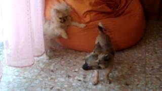 Pomeranian & Chihuahua Puppies Playing And Fighting.mpg