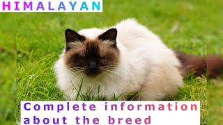 Himalayan or Colorpoint Persian. Pros and Cons, Price, How to choose, Facts, Care, History