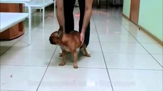 Грыжа шеи у собаки