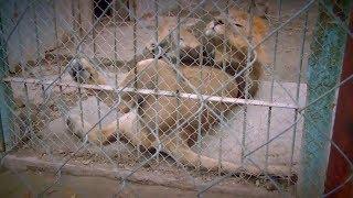 Кровавый цирк: зачем львов накачивают наркотиками? - Инсайдер, 08.02.2018