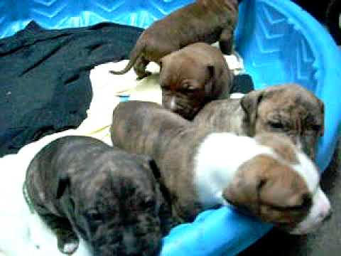 pitbull puppies howling crying whinning
