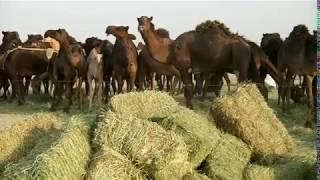 بي بي سي تلتقي رعاة الإبل المتضررين من أزمة قطر