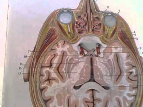 Quot Anatomy And Physiology Quot The Brain Series A Horizontal