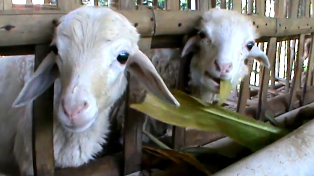 Hasil gambar untuk kambing gibas