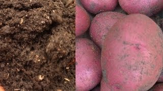 Growing Potatoes & Building Soil at the Same Time