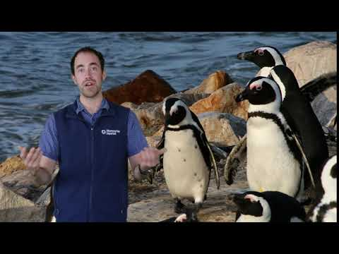 Fast Ocean Facts — Penguins Projectile Defecate!