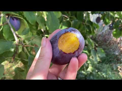 Stanley Plums: Being Choosy About Fruit Tree Varieties