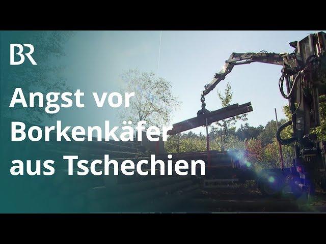 Einwanderer aus Tschechien: Wie gefährlich ist der Nordische Borkenkäfer? | Unser Land | BR