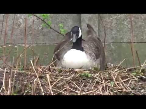 Geese nesting on Stalybridge canal April 2018