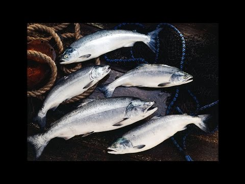 Wild BC Salmon: The Five Species and Lifecycle