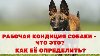 «Рабочая кондиция собаки» – что это? Как определить конституцию своей собаки?