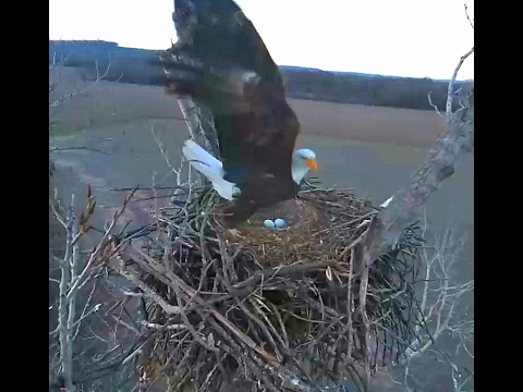 Sequoyah Eagles near Vian, Oklahoma 2 3 17 Swap outs eagle pair Okee & Cher have 2 eggs