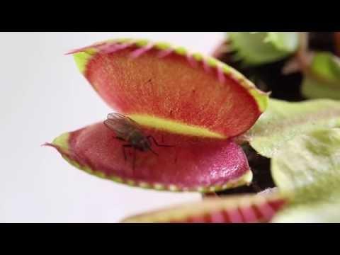 Как питаются мухоловки. Венерина мухоловка ест муху. Хищное растение Дионея.