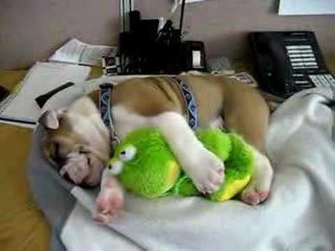 English Bulldog Sleeping On My Desk @ Work