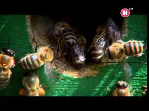 Вопрос: Зачем эволюция предусмотрела смерть для пчёл после ужаливания?