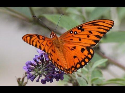Beautiful Orange Butterfly - YouTube