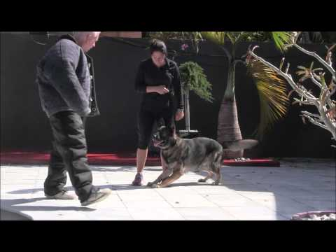 German Shepherd gives everything he's got to protect his owner!