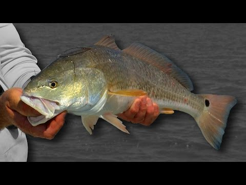 Baffin Bay Red Fishing in Texas Bays with DOA 2.75 Shrimp
