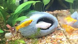 секс моллинезий  - белый самец нагло домагается до вновь прибывшей желтой самки
